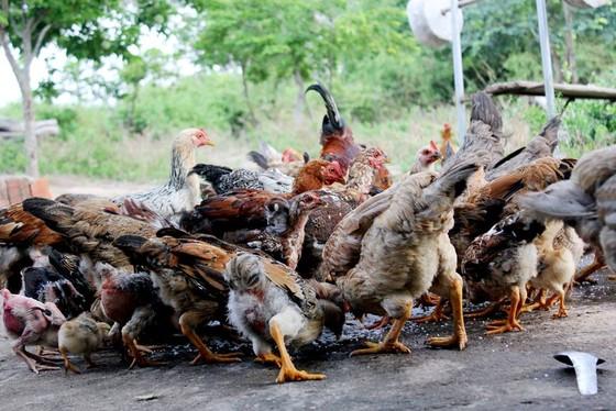 Cả làng nhập viện sau khi ăn thịt gà chết ảnh 1