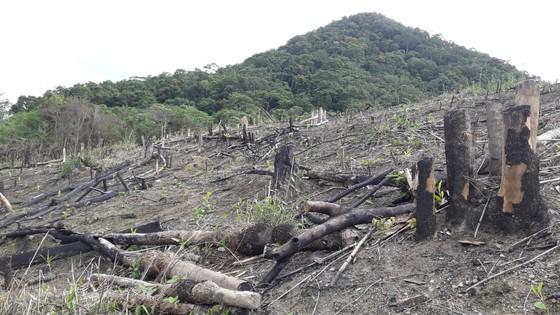 Gia Lai điều tra việc phá rừng để trồng rừng ảnh 3