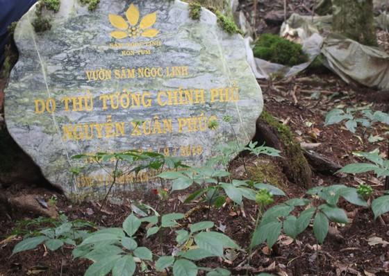 Chiêm ngưỡng vườn sâm ngàn tỷ trên đỉnh Ngọc Linh ảnh 2