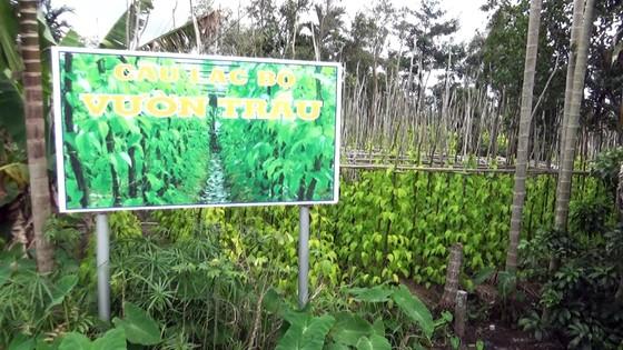 Lá trầu xuất khẩu sang Trung Quốc được giá, người trồng lãi cao ảnh 5