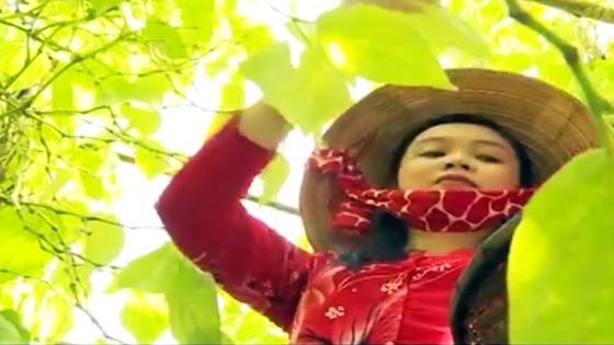 Lá trầu xuất khẩu sang Trung Quốc được giá, người trồng lãi cao ảnh 6
