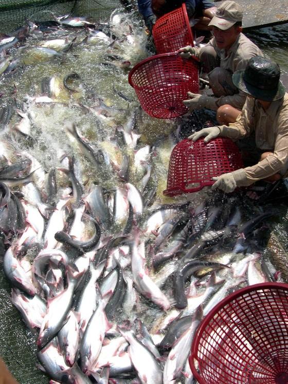 Giá cá tra ĐBSCL tăng cao kỷ lục ảnh 1