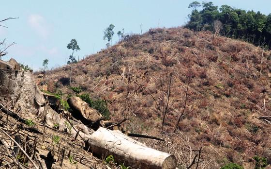 Thêm 20ha rừng bị lâm tặc tàn phá tại Bình Định ảnh 1