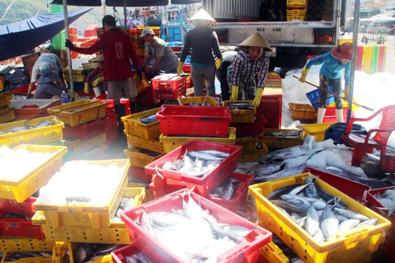 Ngư dân Bình Định trúng đậm cá ngừ, thu về tiền tỷ ảnh 4