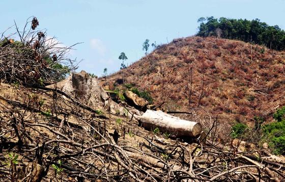Có hay không việc cán bộ bao che vụ phá trên 60 ha rừng tại Bình Định? ảnh 1