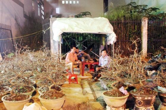 """Chủ mai Bình Định """"đổ bộ"""" QL1 chong đèn, dựng lều chào bán mai tết sớm ảnh 1"""