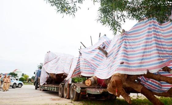 """CSGT tỉnh Quảng Ngãi tạm giữ xe chở cây """"khủng"""" thiếu giấy tờ lưu hành đặc biệt ảnh 1"""