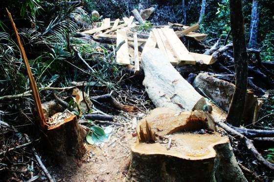 """Công an vào cuộc điều tra vụ """"xẻ thịt"""" rừng dổi cổ thụ tại Bình Định ảnh 2"""
