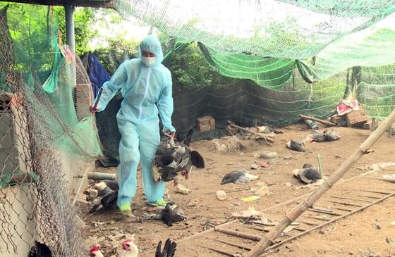 """Xuất hiện """"ổ"""" dịch cúm H5N6 có độc lực rất mạnh tại Phú Yên ảnh 1"""