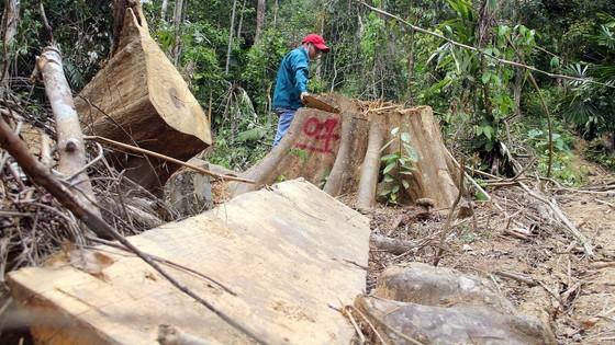 Phá rừng pơmu Quảng Nam, nguyên Đồn phó Đồn Biên phòng lãnh 4 năm tù giam  ảnh 1