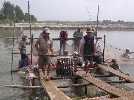 Giá cá tra vượt ngưỡng 30.000 đồng/kg ảnh 1