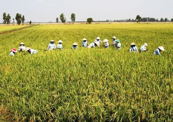 """Xây dựng 30.000ha """"cánh đồng lớn"""" gắn với nông dân ảnh 2"""
