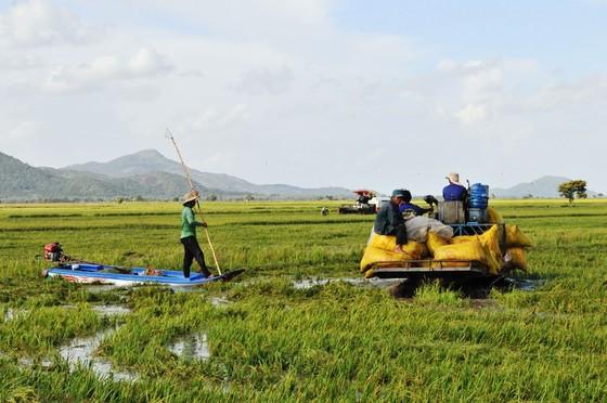 Lũ làm vỡ bờ bao, hàng trăm ha lúa ở biên giới An Giang bị thiệt hại ảnh 1