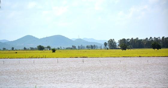 ĐBSCL khẩn cấp gặt lúa chạy lũ ở vùng biên giới  ảnh 4