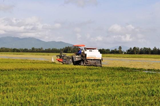 Nông dân ĐBSCL nhanh chóng thu hoạch lúa chạy lũ ảnh 2