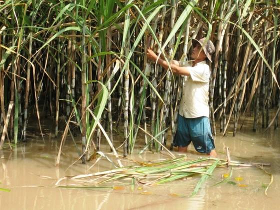 Hàng ngàn hécta mía ngập trong nước lũ, nông dân nguy cơ lỗ trắng ảnh 1