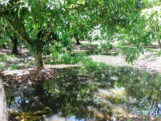 Hàng ngàn hécta mía ngập trong nước lũ, nông dân nguy cơ lỗ trắng ảnh 3