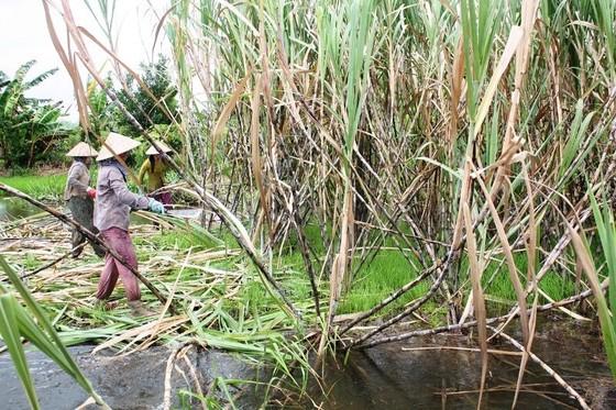 Hàng ngàn hécta mía ngập trong nước lũ, nông dân nguy cơ lỗ trắng ảnh 2