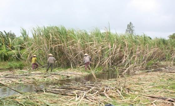 Nông dân ĐBSCL sẽ phá bỏ hàng ngàn ha mía ảnh 1