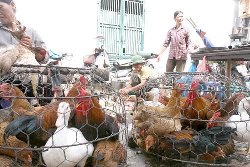 Sẽ cấm bán gà vịt sống tại chợ? ảnh 1