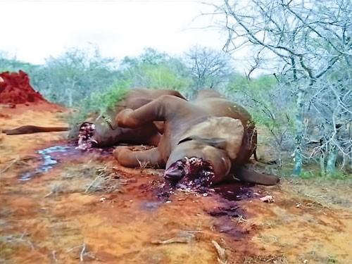 Voi và tê giác sắp tuyệt chủng ảnh 1