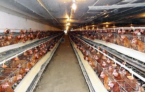 Chăn nuôi chọn miếng bánh nhỏ trong TPP ảnh 1