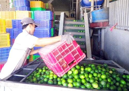 Chanh chiếm 30% tổng kim ngạch XK trái cây ảnh 1
