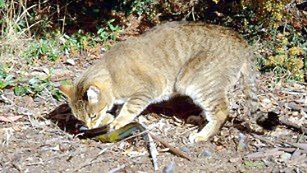 Australia tiêu diệt 2 triệu con mèo? ảnh 1