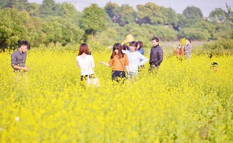 Cánh đồng hoa cải trong nắng đông ảnh 1