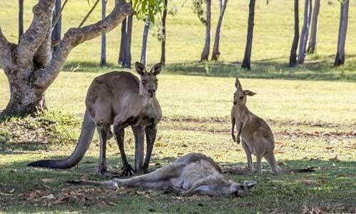 Tình mẫu tử của kangaroo gây xúc động ảnh 3
