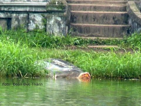 Xác Rùa Hồ Gươm sẽ đưa vào Bảo tàng Thiên nhiên ảnh 1