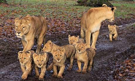 Để cân bằng sinh thái, sẽ bắn 200 sư tử ảnh 1