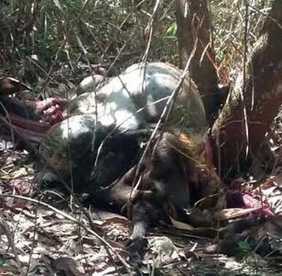 Bò tót 200 kg bị bắn chết ở rừng Đồng Nai ảnh 1