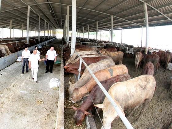 Đại gia Việt đua nuôi bò ảnh 1