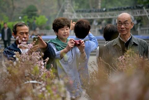Hà Nội: Cận cảnh ngắm hoa anh đào Nhật Bản ảnh 2