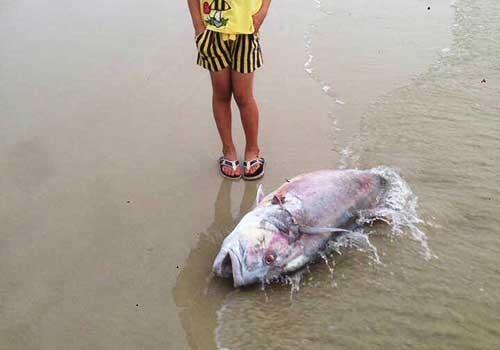 Giả thiết về nguyên nhân khiến cá chết hàng loạt ở miền Trung ảnh 1