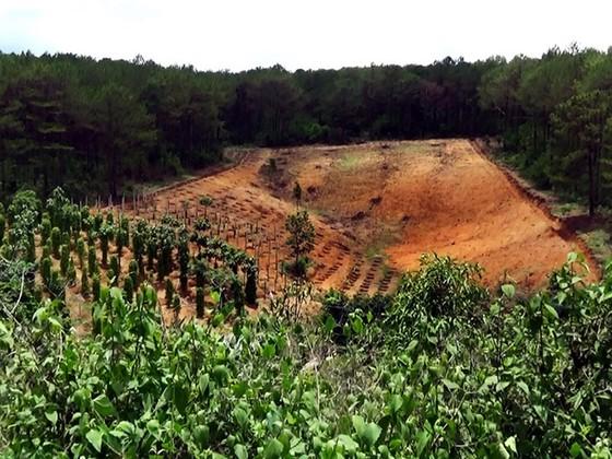 Phá rừng thông để lấy đất sản xuất ảnh 1