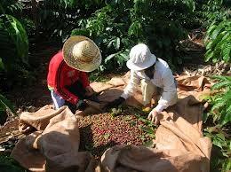 Lập hội sản xuất cà phê bền vững ảnh 1