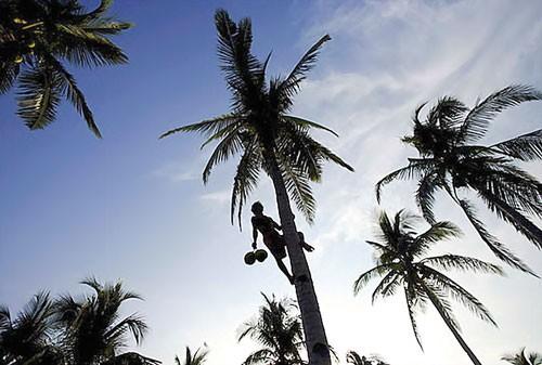 Khủng hoảng cây dừa ảnh 1