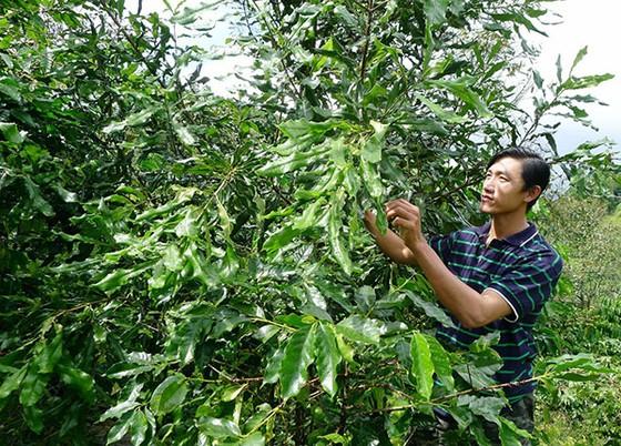Định hướng phát triển mắc ca tại Việt Nam ảnh 1