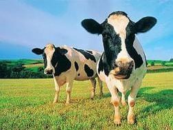 Thêm 100 triệu USD dự án bò sữa TH True Milk ảnh 1