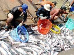Người nuôi cá tra vay vốn lãi suất 7,8% ảnh 1