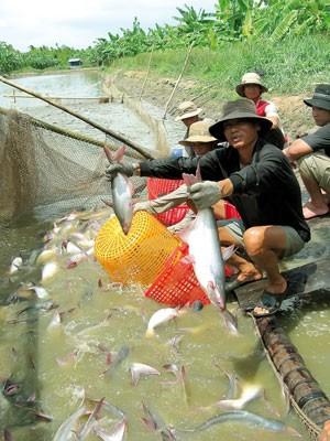 Sốc với thuế cá tra vào Hoa Kỳ ảnh 1