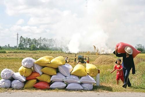 Sản xuất, xuất khẩu lúa gạo: Cần chiến lược lâu dài ảnh 1