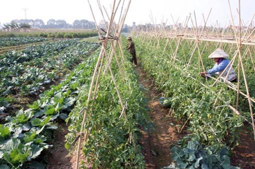 Loay hoay bài toán nông sản an toàn ảnh 1
