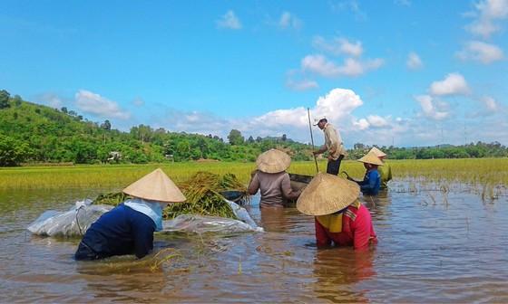 ĐBSCL giảm trồng lúa để phù hợp với biến đổi khí hậu ảnh 1
