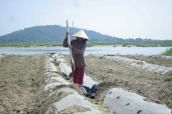 """Sau """"giải cứu"""", nông dân Quảng Ngãi tiếp tục xuống vụ dưa hè """"nội địa"""" ảnh 2"""
