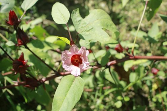 Cây Atiso đỏ đầu tiên trên đất Quảng Ngãi ảnh 4