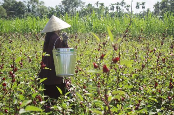 Cây Atiso đỏ đầu tiên trên đất Quảng Ngãi ảnh 2