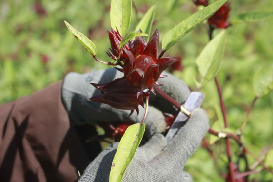 Cây Atiso đỏ đầu tiên trên đất Quảng Ngãi ảnh 3